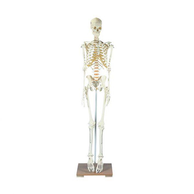 Menselijk skelet op verrijdbaar statief